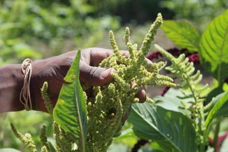 Tanzanian Sangiwa Eliamani holds some amaranth.