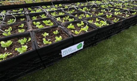 Boston, MA - 04/17/15 ***FOR FOOD*** Feature on Fenway Farms, Fenway's rooftop farm, in Fenway Park. Head Lettuce growing in boxes. - (Barry Chin/Globe Staff), Section: Lifestyle/Food, Reporter: Correspondent, Topic: 22fenway, LOID: 8.0.4212494852.